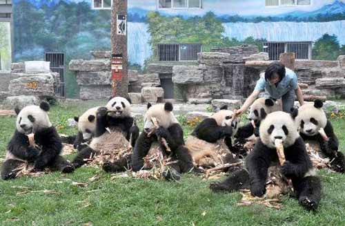 当日,北京动物园召开新闻发布会宣布:5月24日从成都乘专机飞抵北京的8