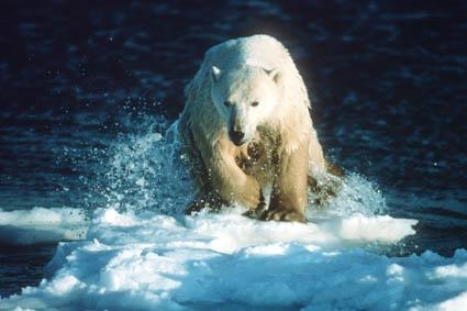 《北极熊会感到孤单吗?》