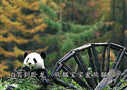 自驾到卧龙 熊猫宝宝爱熊猫