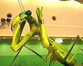 广州跨世纪机器人博览会,森林世界螳螂 Mantis