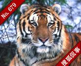 老虎生存有风险投胎需谨慎