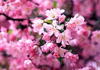 青岛中山公园 人气樱花街 仿如童话
