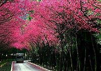 台湾阿里山:最爱那一抹绯红柔情