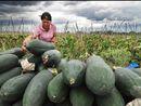 广西玉林市农民抢收黑皮冬瓜