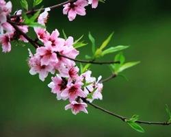 北京植物园转桃花