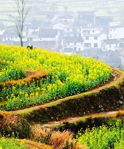 婺源 追忆油菜花盛开的春天