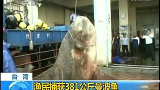视频:台湾一渔民捕获381公斤重曼波鱼