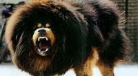 十大最凶悍猛犬