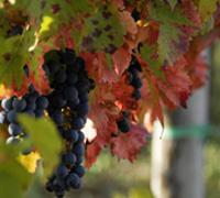 年轻的中国葡萄酒业挑战机遇并存