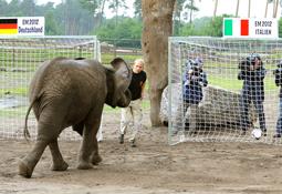 德国大象再度预测 竟支持意大利战胜母队