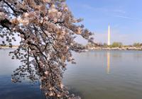 粉色华盛顿