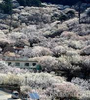 千亩樱桃花