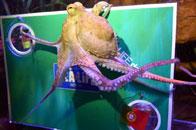 章鱼保罗传人再现
