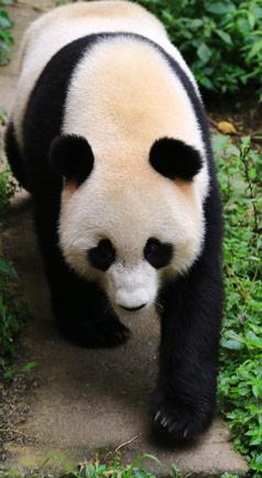 观看熊猫大宝贝