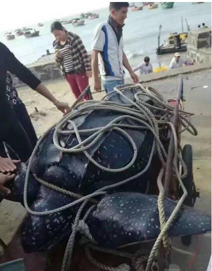 12月6日下午二时左右,徐闻县前山镇山海村的海边,一大群人正在屠宰一只巨型国家二级保护动物棱皮龟。并以70元/斤的价格出售龟肉。当地人纷纷赶去抢购,不多时已经售罄。