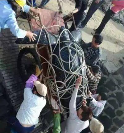 2016年12月6日,一组视频刷爆了湛江人的社交圈,徐闻县前山镇海边,一只巨型海龟被绑在板车上,10余人才拉得动。