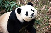 旅美大熊猫被虐系谣言