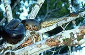 3米长蟒蛇盘树上生吞负鼠